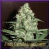 Homegrown Fantaseeds Cheese Feminised 5 Seeds